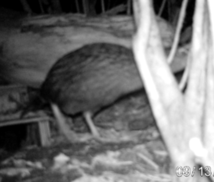 Weka caught by trail camera